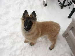 should i get a belgian tervuren 65 best come adam images on pinterest belgian shepherd