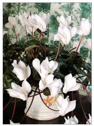 easy tropical houseplants hgtv spathiphyllum or the peace lily