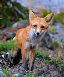 fox the canadian encyclopedia