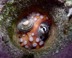 scientists discover a city built by octopuses dub it u0027octlantis