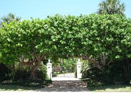 sea grape trees for some privacy new house idears pinterest