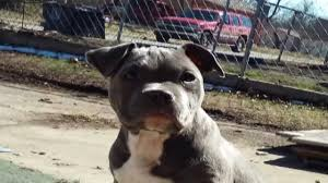 2 month old american pitbull terrier tulsa dog owner finds stolen pitbull u0027s ears in yard newson6 com