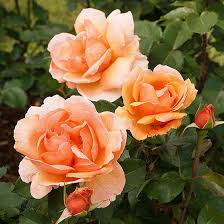 Fragrant Flowers For Garden - the most fragrant roses for your garden