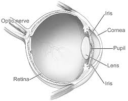 What Structure Of The Eye Focuses Light On The Retina Best 25 Parts Of The Eye Ideas On Pinterest Function Of The Eye