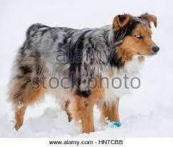 australian shepherd colors stunning tri color blue eyed australian shepard shepherd aussie