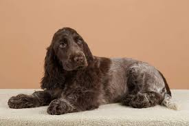 imagenes de english cocker spaniel cocker spaniel english dogs breed information omlet
