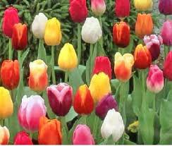 tulips flowers tulips tips gardening pictures care meaning growing tulips