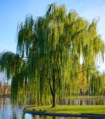 weeping willow gardens privacy trees and plants