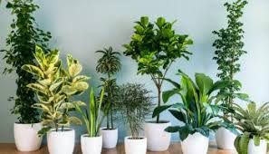 biggest house plants 15 epic houseplants for improving indoor air quality hort zone