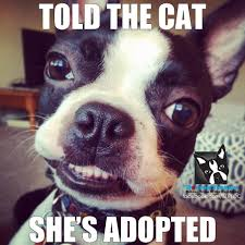 Boston Terrier Meme - boston terriers in europe home facebook