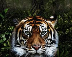 1280x1024 jungle tiger desktop pc and mac wallpaper