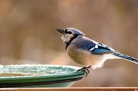 blue jays wild birds unlimited omaha ne
