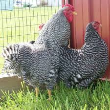 Backyard Poultry For Sale by Where To Buy Dominique Chickens Efowl