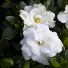 Gardenia Flower Double Mint Gardenia Naturehills Com