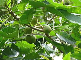 kukui nut kukui nut from hawaii a delight for the skin aromatherapy