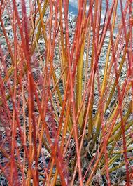 bluestem nursery more gorgeous willow stems