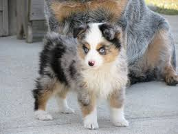 australian shepherd pictures toy australian shepherd google search animals pinterest