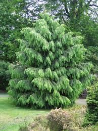 unique small evergreen trees for landscaping trees pinterest