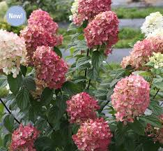 Flowering Shrubs For Partial Sun - colorchoice flowering shrubs four star greenhouse
