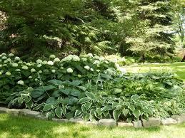boxwood hydrangea and hostas landscaping hydrangeas u0026 hostas
