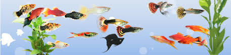 orna fish