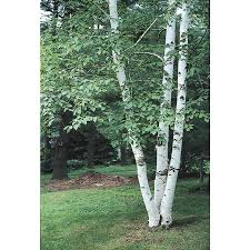 Paper Blinds At Lowes Shop 5 5 Gallon Paper Birch Feature Tree L7304 At Lowes Com