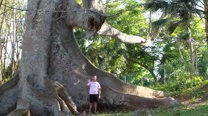 Bermuda Botanical Gardens Kapok Tree In Botanical Garden Bermuda