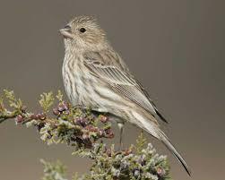 house finch audubon field guide