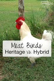 best heritage chicken breeds for meat with 15 popular breeds of