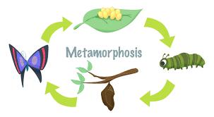 mini lesson plan metamorphosis u2013 littlelives