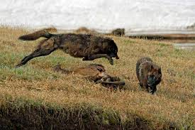 Wyoming wild animals images Wyoming photographer draws fans with compelling yellowstone jpg