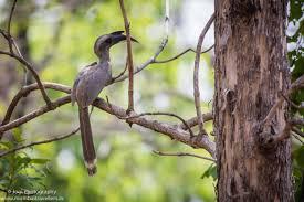 indian grey hornbill at pench national park 1 of 1 mumbai