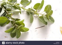origan frais en cuisine cristina cassinelli feuilles d origan frais sur une feuille de