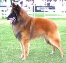 belgian tervuren club colorado the westminster kennel club breed information belgian tervuren