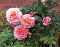 Fragrant Rose Plants - rose u0027compassion u0027