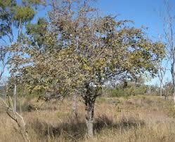 zizyphus mauritiana tree ziziphus mauritiana wikipedia