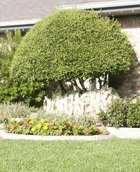 ornamental tree photo gallery haslet tx landscaping lawn connections