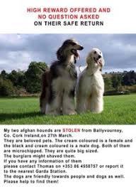 afghan hound national 2014 lost u0026 found afghan hound club of america u2013 national rescue