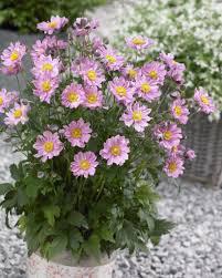 octoraro native plant nursery perennial plants plants nouveau