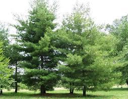 white pine trees eastern white pine tree pinus strobus