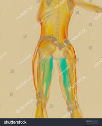 Female Muscles Anatomy Adductor Magnus Female Muscle Anatomy Leg Stock Illustration