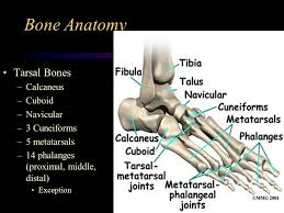 Calcaneus Anatomy Foot Anatomy Ppt Video Online Download