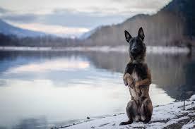 belgian sheepdog gif awesome belgian malinois photos album on imgur