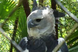 harpy eagle facts for kids harpy eagle diet u0026 behavior
