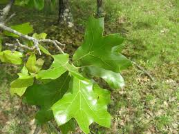 file lewis county blackjack oak jpg wikimedia commons