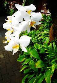 white dendrobium orchids in balinese resort garden stock photo