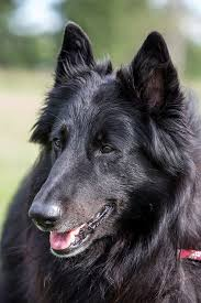 belgian sheepdog rescue florida 2013 oconomowoc wi belgian sheepdog club of america