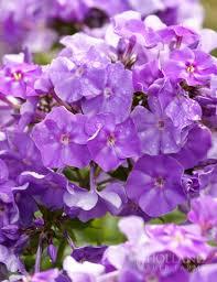Phlox Flower Blue Boy Tall Phlox
