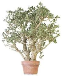 Best 25 Jade plant pruning ideas on Pinterest