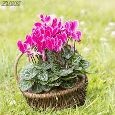 fragrant indoor plants zlking 10pcs green cyclamen persicum seeds blooming bonsai radiation